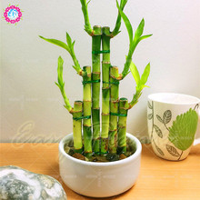 Low price!40 pcs/bag rare bamboo seeds spiral Climbing aquatic plant bonsai Evergreen tree seeds potted for home garden planting