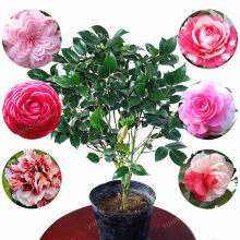 5 Bonsai / Pack Camellia Bonsai DIY Potted Plants Flower Bonsai Perennial Indoor Outdoor Bonsai Pot Plant For Home Garden(China)