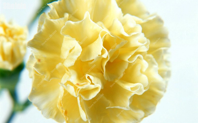 Tender yellow carnations seeds 100pcs potted flowers seeds tender yellow carnations seeds 100pcs potted flowers seeds perennial flowers in bonsai from home garden on aliexpress alibaba group mightylinksfo
