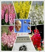 Wholesale authentic Snapdragon seeds flower seeds rare plants, 50pcs