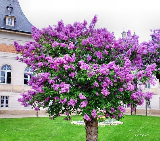unidsbolsa semilla lila lila prpura japons muy fragante clavo planta semillas