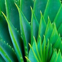 NEW BEST After Microdermabrasion Moisturizer 100% PURE ORGANIC ALOE VERA GEL 32oz FREE SHIPPING