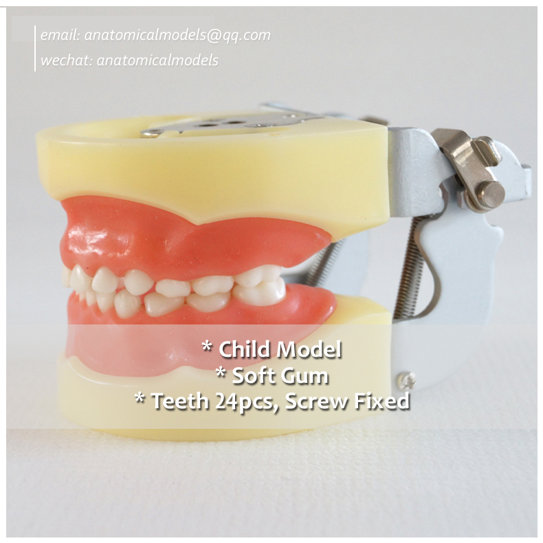 13003, Soft Gum 24pcs Teeth Standard Child Dental Model , @CMAM anatomical model promotion 24 pcs soft gum standard dental child model teeth fe articulator doctor teeth model a3