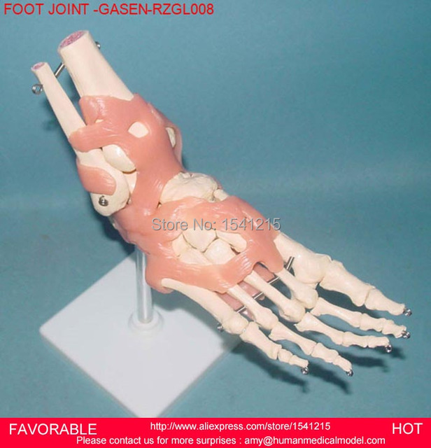 Foot Joint Model Foot Joint Ligaments Attached Model Human