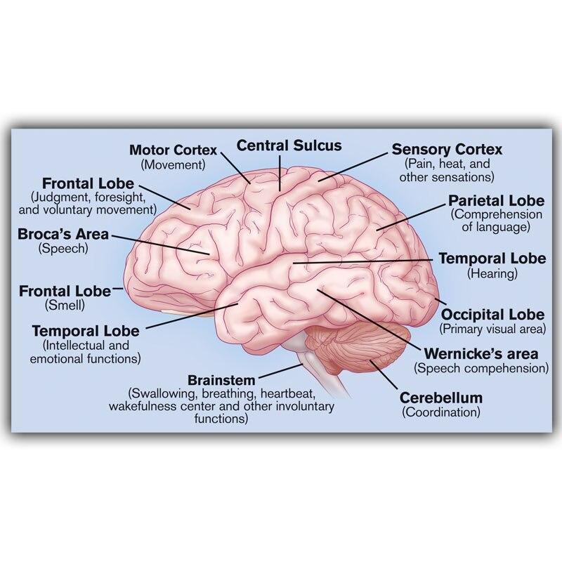 human science human brain brain diagram lobes medical knowledge silk silk poster. Black Bedroom Furniture Sets. Home Design Ideas