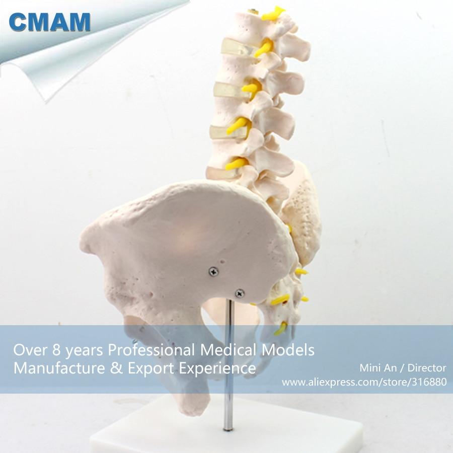 12342 cmam pelvis05 human pelvis skeleton anatomy model with lumbar vertebrae educational teaching anatomical models in medical science from office  [ 900 x 900 Pixel ]