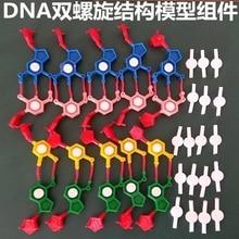 Model bileşenleri DNA çift sarmal yapı kromozom yapı modeli bileşen nükleotitler