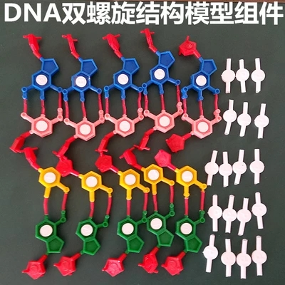 Model Components Of DNA Double Helix Structure Chromosome Structure Model Component Nucleotides