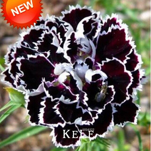 Распродажа! Редкие черные гвоздики цветок Plantas Dianthus Бонсай цветочных растений для дома и сада 200 шт./лот, # NQP9TC