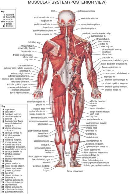 Cuerpo humano Anatomical Chart sistema muscular acuarela inkjet ...