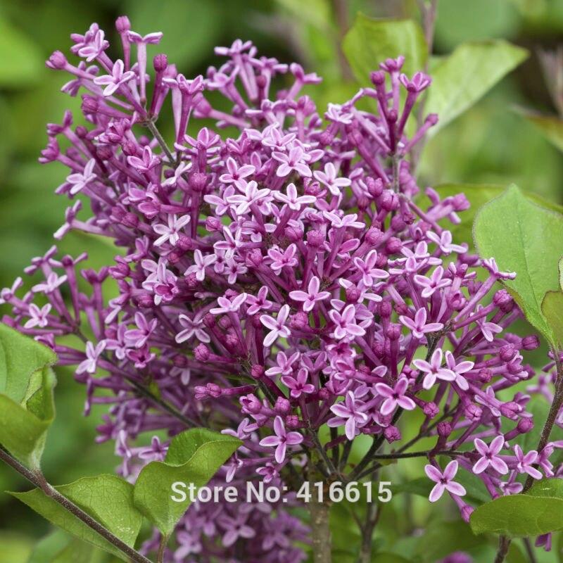 lila semillas syringa bloomerang semillas enano reblooming lila flor rbol perenne semillas de bonsai jardn de