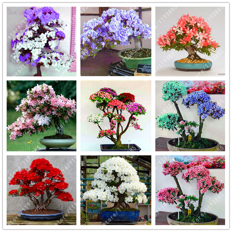100 Pcs/bag Rare Bonsai Azalea Seeds, rhododendron azalea Looks Like Sakura Japanese Cherry Blooms Sims Azalea Flower Seeds