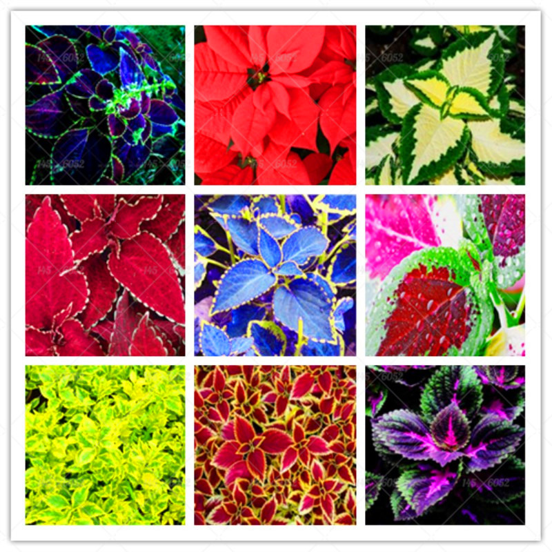 50pcs/bag begonia seeds bonsai flower seeds courtyard balcony Coleus seeds begonia plants potted for home garden.Free Shipping.