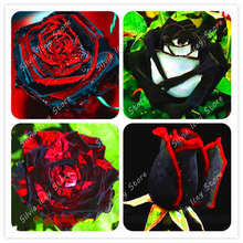100 Pcs Rare Rose Bonsia Black Flower With Red Edge Flowers Bonsai Home garden decoration potted planting