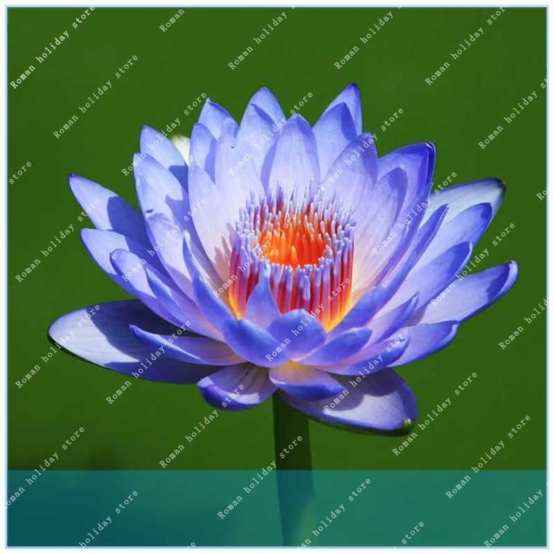 Detail Feedback Questions About Zlking 5pcs Flower Blue Lotus