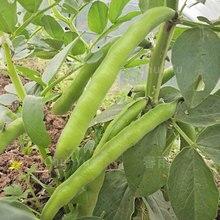 2019 Горячие Продажа Продажа Дома Семена Бобы Конские Бобы Овощное Растение Бонсай Органические