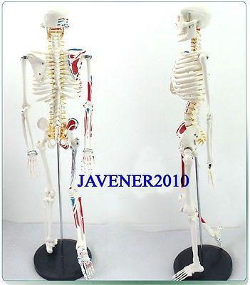 85cm Human Anatomical Anatomy Skeleton Medical Model Muscle +Stand Fexible bix a1005 human skeleton model with heart and vessels model 85cm wbw394