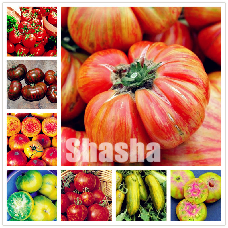 200 Pcs Sweet Tomato Bonsai Non-Gmo Heirloom Fruit Vegetable Natural Growth,Balcony Yard Bonsai Plant Can Edible Anti-Aging