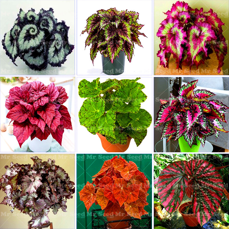 100Pcs Bag Begonia Bonsai plant Flower plants Garden Terrace Color Leaf Begonia Plants Potted Family Garden Perennial planting in Bonsai from Home Garden