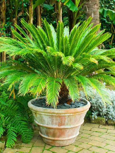 10pcs Cycas Sago Palm Seeds