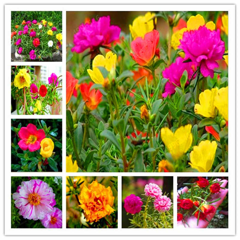 200 Pcs Portulaca Grandiflora bonsai Mixed Color Moss-Rose Purslane Double Flower plant For Planting Heat Tolerant Easy Growing