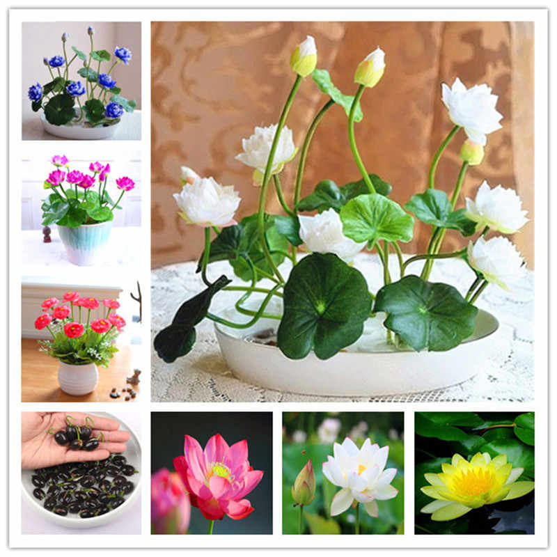 5 pcs/bag bonsai flower lotus flower for summer 100% real Bowl lotus pots Bonsai garden plants