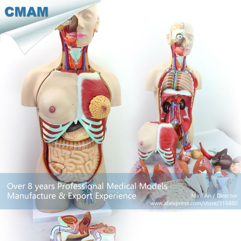 12015 CMAM-TORSO04 85cm Deluxe Dual-Sex Torso Model with Opened Back, 29 part, Human Tunk Anatomy Model for School Education cmam viscera01 human anatomy stomach associated of the upper abdomen model in 6 parts
