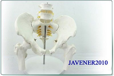 1:1 Human Anatomical Pelvis Lumbar Vertebra Medical Model Leg Bones +Stand 12338 cmam pelvis01 anatomical human pelvis model with lumbar vertebrae femur medical science educational teaching models