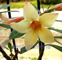100 Genuine Yellow Mahamongkol Adenium Obesum Seeds 100 SEEDS Bonsai Desert Rose Flower Plant Seeds