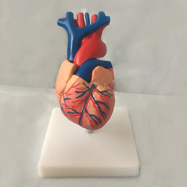 1 1 Human Heart Anatomy Model B Ultrasonography Supercardiac Model