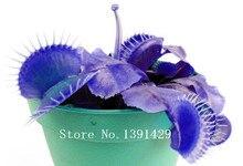 HOT Sale100PCS Potted blue Insectivorous Plant Seeds Dionaea Muscipula rare Venus Flytrap bonsai Seeds