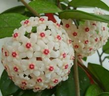 Hoya Seeds, Potted Seed, Hoya Carnosa Flower Seed Garden Plants, Perennial Planting – 20 Seeds Indoor Plants