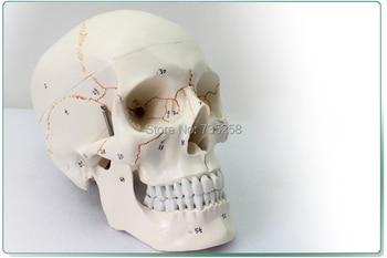 Human skull model,Senior 1:1 skull model