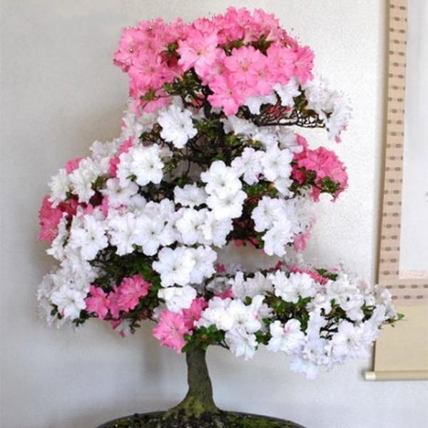 Azalea Seeds Diy Home &  Garden Plants Looks Like Sakura  Flower Seeds