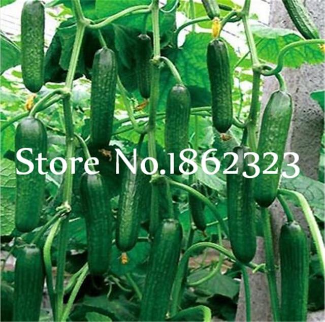 200 pz Rare Gusto Dolce Cetriolo piante di Perenne organic Bonsai Fiori per la C