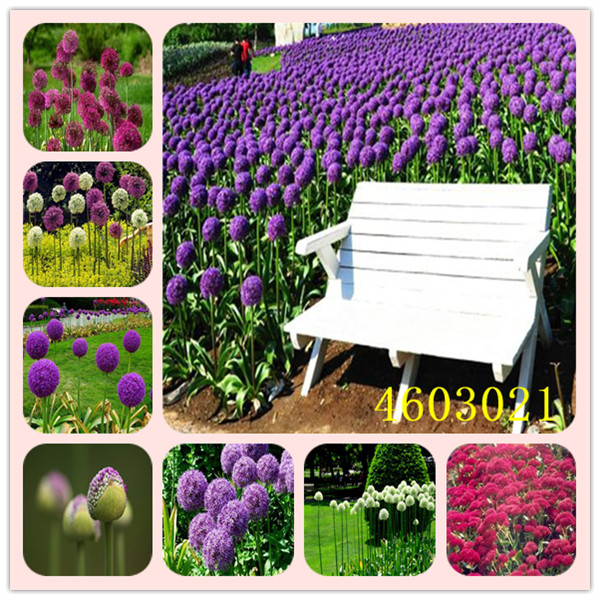 100 /pack Purple Giant Allium Giganteum Beautiful Flower Seeds Garden Plant Each is carefully selected Survival rate over 95%