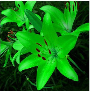 free ship New lily Plants indoor bonsai perfume lily seeds lily flower seeds - 40 seeds