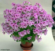 100 pcs Rare Geranium seeds, Variegated Geranium potted winter garden flower,bonsai potted flower plant