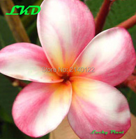 Plumeria Plants Rooted 7 15 Inch Frangipani Flower Cymbidium Bonsai Plumeria Rubra Plants No126 Kaleidoscope