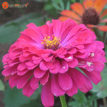 New Arrival Rose Pink Zinnia Seeds Perennial Flowering Plants Potted Charming Chinese Flowers Seeds 100 Particles /lot