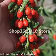 100pcs plantas naturales New Arrival China Top Quality Super Big goji berry goji berries bonsai plant for Home garden 1 goji wolfberry
