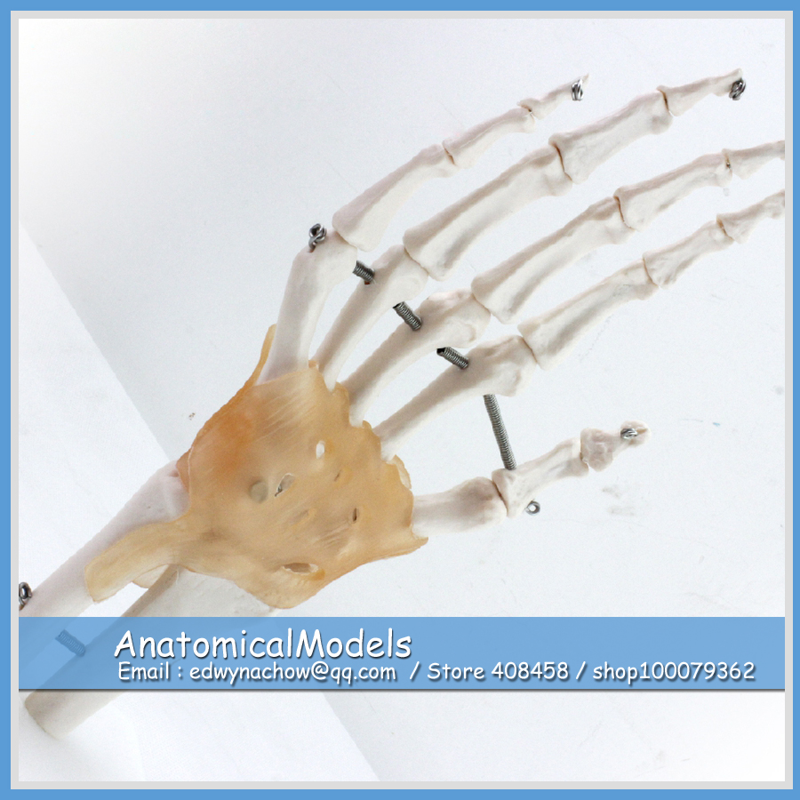 ED-JOINT04 Life Size Medical Anatomy Hand Joint with Ligaments,  Medical Science Educational Teaching Anatomical Models human hand joint life size bone skeleton anatomical model medical anatomy for medical science teaching