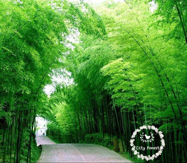 200 bambu moso sementes bonsai rvore de crescimento for Arboles perennes de crecimiento rapido