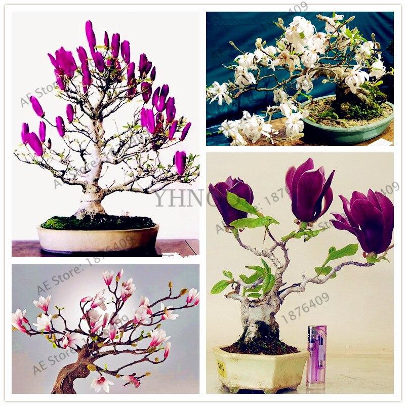 Galleria fotografica Magnolia bonsai, rare di fiori in vaso albero di flores, casa e decorazione del giardino pianta, facile da coltivare, 30 pz/borsa