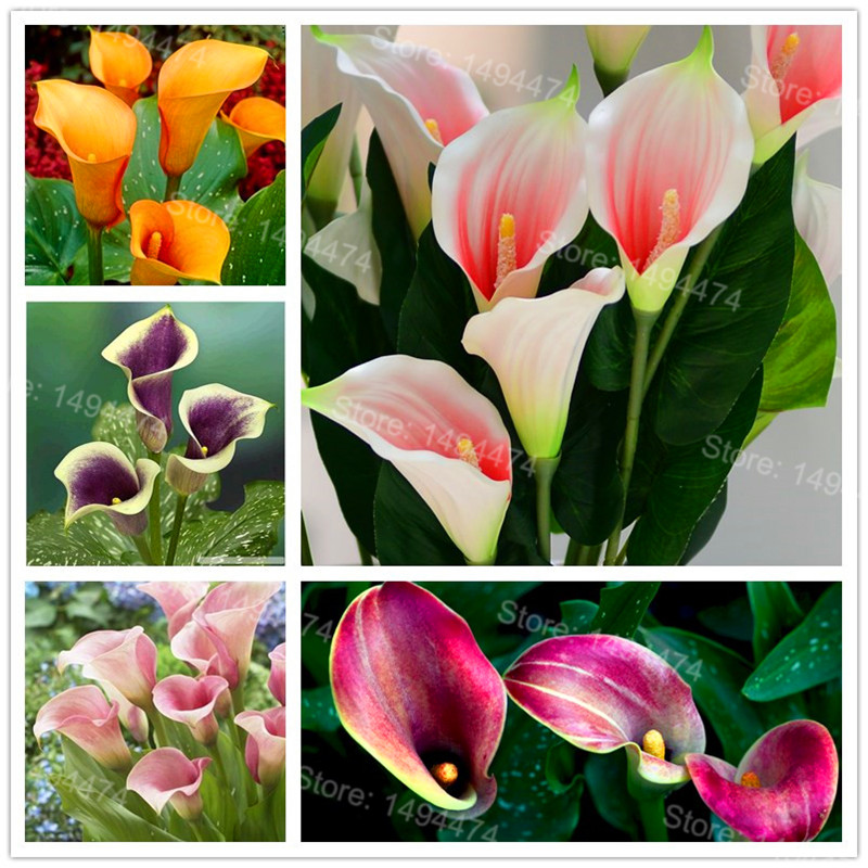 100pcs/bag Rare Calla Lily Seeds mixed color beautiful bonsai flower seeds Elegant noble ...