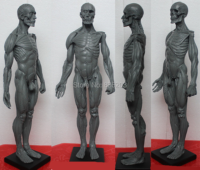 Dental 60 CM Male Male figure: Art pro v2A Anatomical model of ...