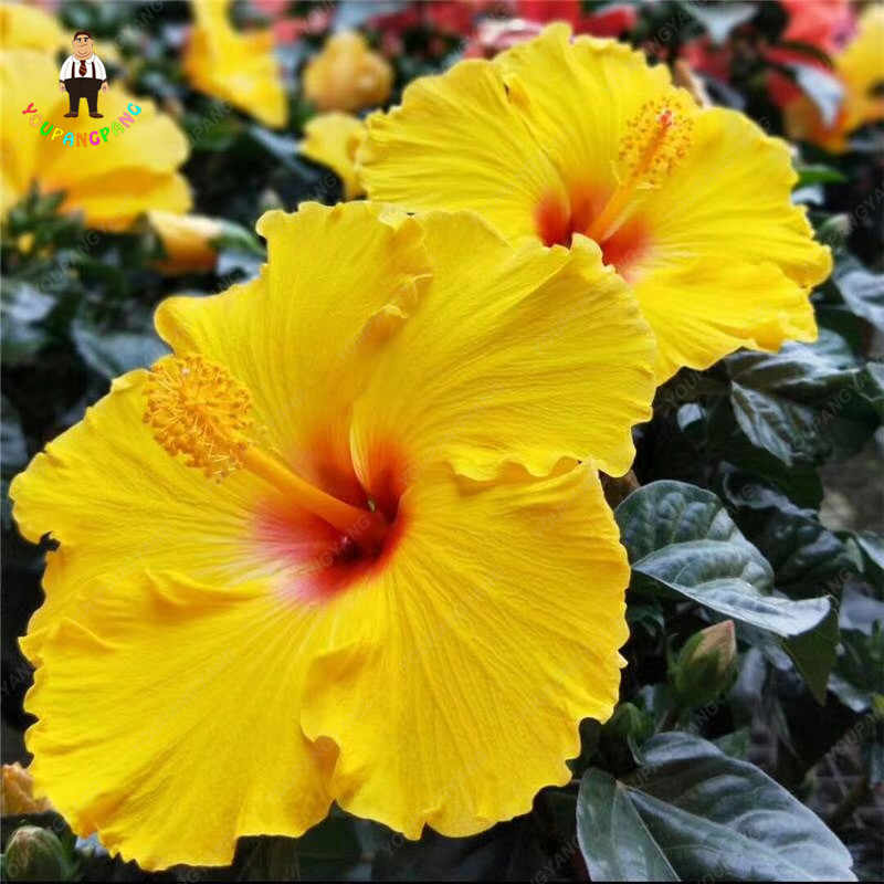 Detail Feedback Questions About 100pcs Hot Sale Rare Giant Hibiscus
