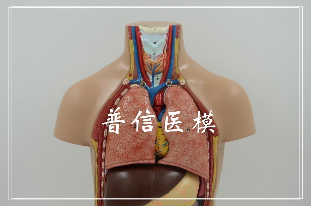 Freies verschiffen & Menschlichen körper modell. 12 teile anatomie ...