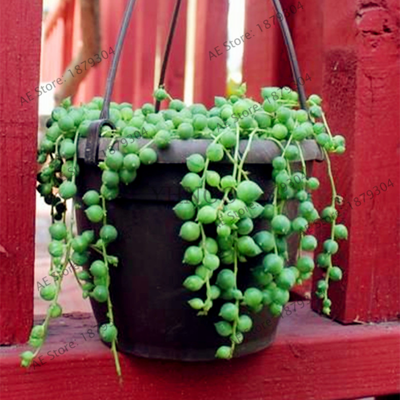 string of pearls succulent - 661×1024