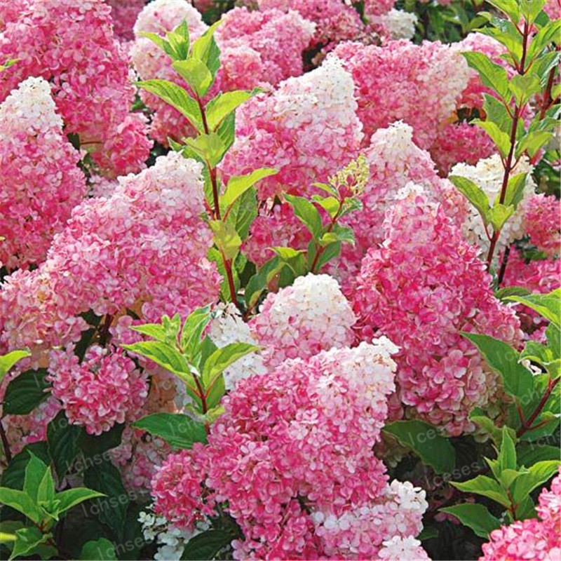 20pcs/Cone hydrangea  bonsai perennial flower flores for wedding party plant for home and garden-in Bonsai from Home & Garden